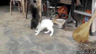 Enlace a Gallo contra gato, ¿Quién crees que ganará?