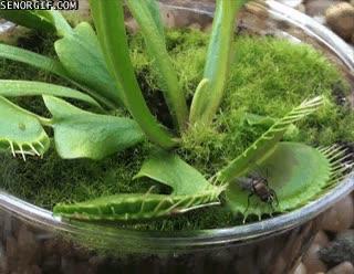 Enlace a Cuidado con las plantas carnívoras