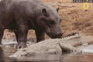 Enlace a Ostras, un cocodrilo