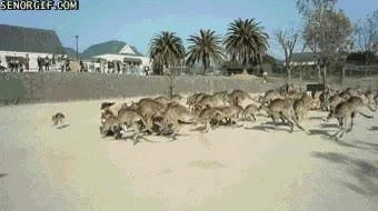 Enlace a El señor de los canguros