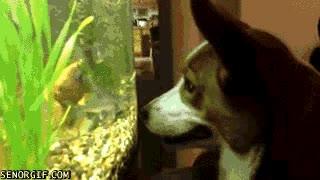 Enlace a Perro hipnotizado con una pecera