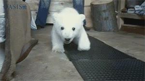 Enlace a Oso polar bebé
