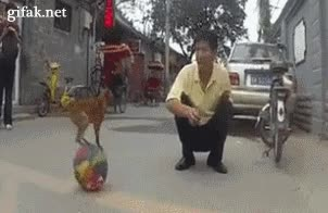 Enlace a Perrito haciendo equilibrio sobre una pelota