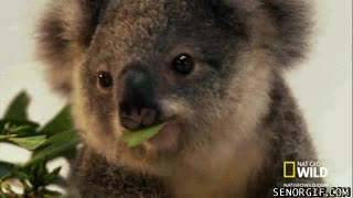 Enlace a Ya lo he decidido, quiero un koala para Navidad
