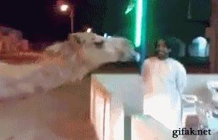 Enlace a Ya lo dicen que hay que cuidar bien a tu camello
