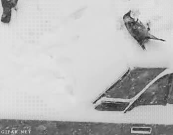 Enlace a Cuervos gozando en la nieve
