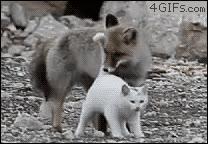 Enlace a Los gatos les gustan hasta a los zorros...