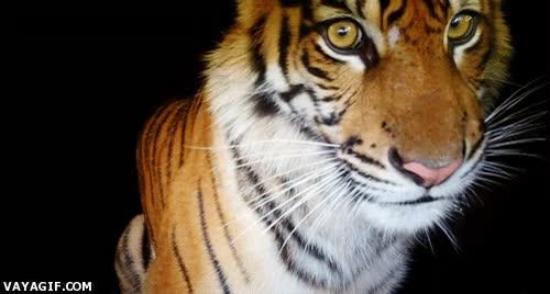 Enlace a Tierna mirada de tigre