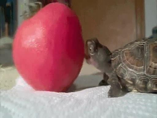Enlace a Tomate troll o tortuga poco hábil