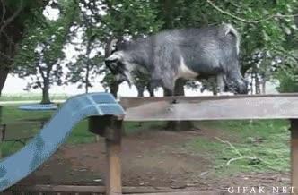 Enlace a Mi cabra haciendo parkour
