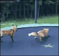Enlace a En las camas elásticas hasta los zorros se divierten