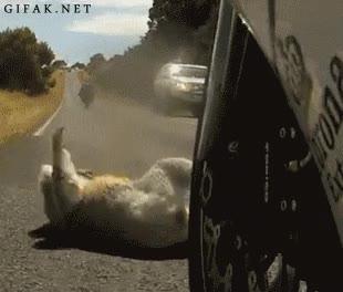 Enlace a Es el Chuck Norris de los Koalas