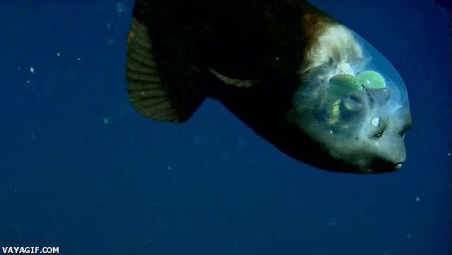Enlace a Os presento al pez con la cabeza transparente