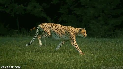 Enlace a Así corre un guepardo, precioso