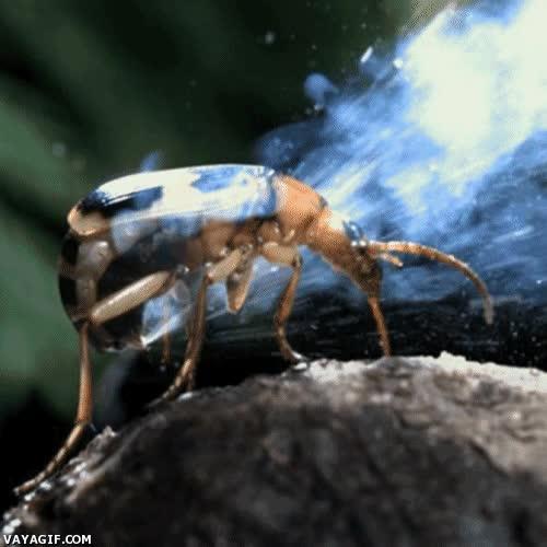 Enlace a Escarabajo bombardero y su peculiar manera de defenderse