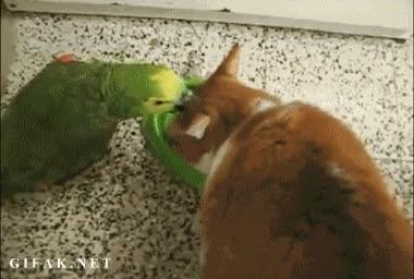 Enlace a No deberías poner a prueba la paciencia de un gato, lorito