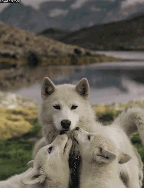 Enlace a Porque los lobos también conocen el efecto Axe