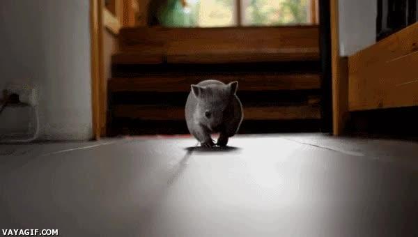 Enlace a Un bebé wombat corriendo y siendo lo más adorable del mundo
