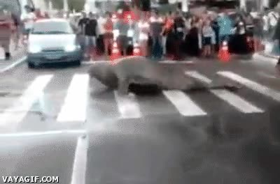Enlace a ¿Paso de cebra? No, paso de foca