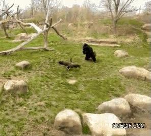 Enlace a El valor de un gorila quizás no sea tanto como podías pensar