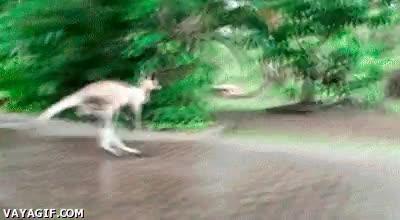 Enlace a Los mecánicos del pobre canguro no le han puesto las patas de lluvia...
