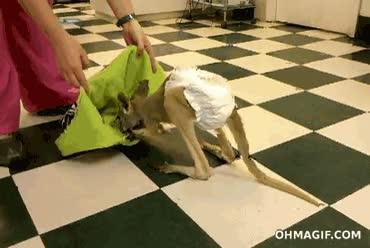 Enlace a Y así se cuida un canguro en cautividad