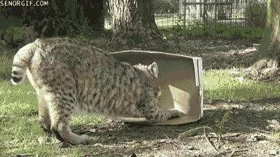Enlace a Un lince es un gato grande y ésta es la prueba