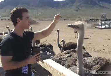 Enlace a Nunca vaciles a una avestruz y más si hay comida de por medio