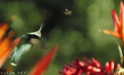 Enlace a ¿Acrobacias en avión? Soy un colibrí, puedo hacer lo que me salga de las alas