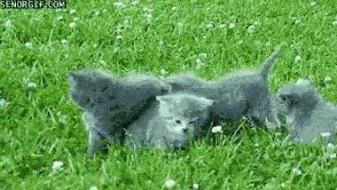 Enlace a Si te quieres acercar a estos gatitos tendrá que ser por encima de mí, ¿te ves capaz, perro?