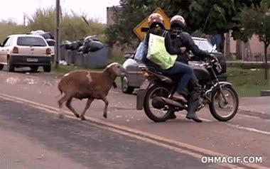 Enlace a Parece que las cabras no son muy partidarias de las motos