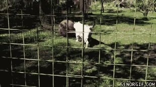 Enlace a Tigre siberiano albino jugando con una pelota, entrañable a la vez que peligroso
