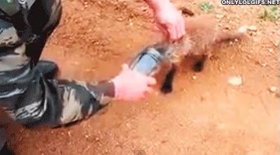 Enlace a Un soldado ayuda a un pequeño zorro atrapado