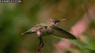 Enlace a El aleteo de un colibrí en cámara lenta