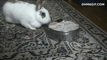 Enlace a Vas listo si crees que una simple tapa se interpondrá entre un conejo y las galletas