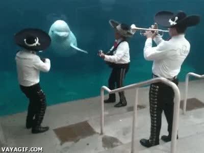 Enlace a Belugas y su pasión por la música mariachi