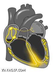 Enlace a Así funciona un corazón humano