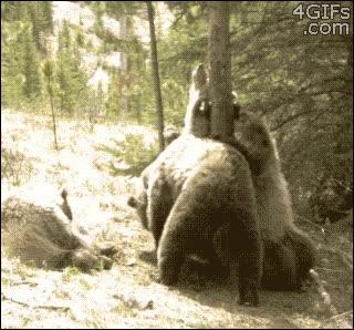 Enlace a El árbol de moda en todo el bosque, sólo para osos vips