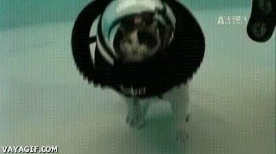 Enlace a Con todos ustedes, el primer gato submarinista, no parece muy emocionado...