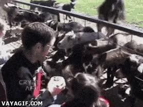 Enlace a Cabra usó golpe cuerpo, ¡es muy efectivo!