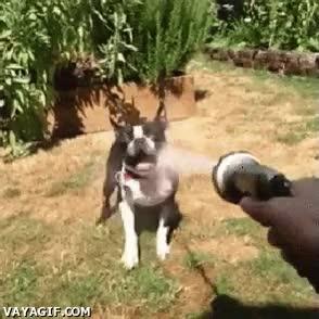 Enlace a Perros que despiertan su instinto asesino cuando les tiras agua