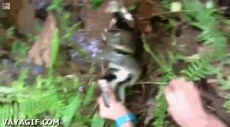 Enlace a Rescatando a un gato de su fatídico destino contra una serpiente