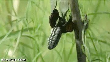 Enlace a La vida de la mariposa monarca en un gif
