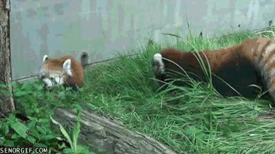 Enlace a Susto a un panda rojo