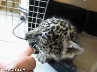 Enlace a Y esto, señores,  es una cría de jaguar