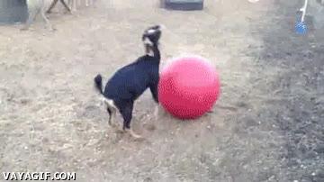 Enlace a Le regalas una pelota y se desata la locura