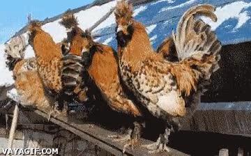 Enlace a Dia 5, los gallos aún piensan que soy uno de ellos