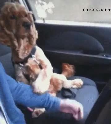 Enlace a Este perro se siente más seguro si le das la manita cuando va en el coche