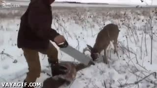 Enlace a Esta pelea de ciervos no acabó bien y se quedaron atrapados los cuernos