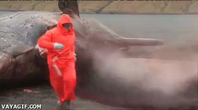 Enlace a Explosión del estómago de una ballena, una digestión algo pesada